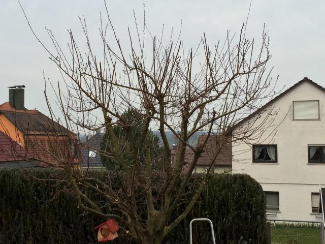 Hilfestellung Schnitt Mirabellen Baum Haussegen Hangt Schief