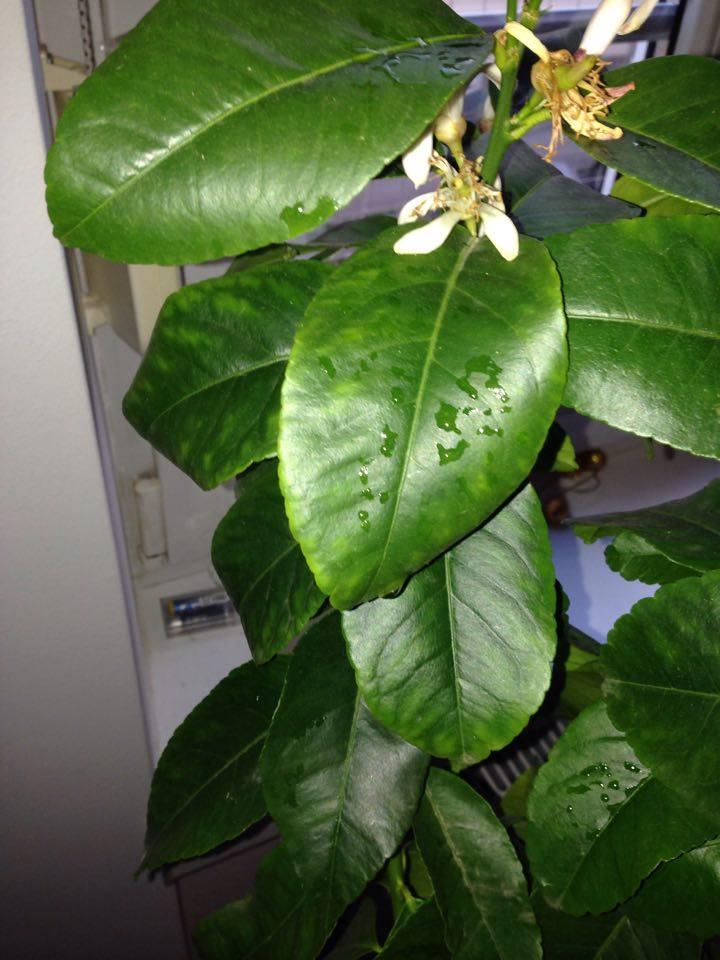 zitronenbaum krankheiten schädlinge