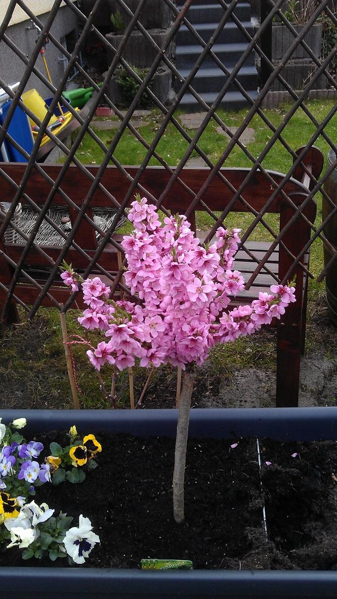 Nektarine Im Garten: Schmales Beet Entlang Eines Staketenzauns