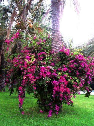 Ganz und zu Extrem Bougainvillea überwintern - Mein schöner Garten Forum @TE_07