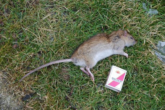 Außergewöhnlich Ratte oder Maus? - kraut&rüben forum #UG_76