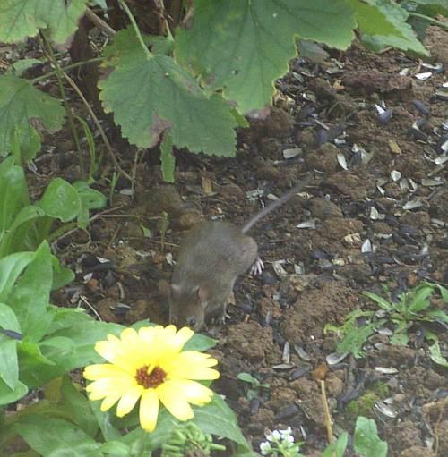 Gemeinsame Ratte oder doch Maus? - Mein schöner Garten Forum #HZ_47