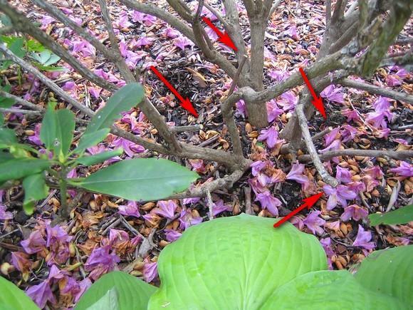Super Rhododendren schneiden - Page 2 - Mein schöner Garten Forum OZ84