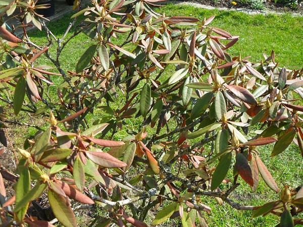 Top Rhododendron - Mein schöner Garten Forum UD86