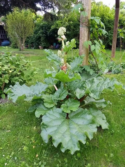Super Mal eine gewagte Rhabarber-Blüten-Frage - Mein schöner Garten Forum #GA_36