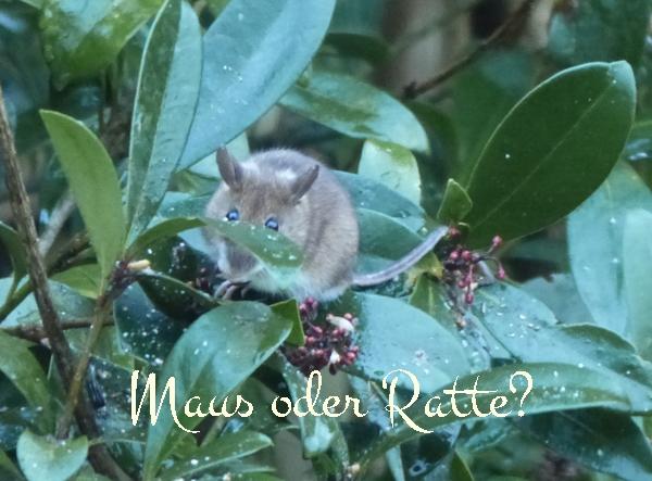 Ganz und zu Extrem Maus oder Ratte? - Mein schöner Garten Forum &SK_81