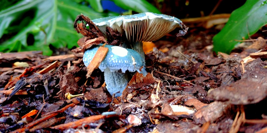 Berühmt Metallisch grün-blauer Pilz im Rindenmulch - was ist das? - Mein @ZL_89